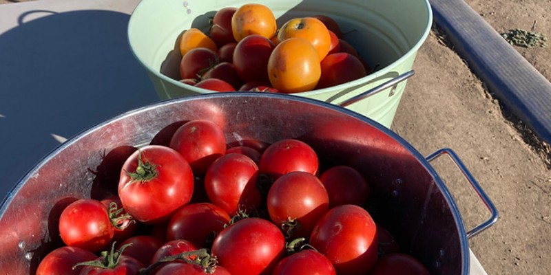 A sampling of Well Rooted's abundant tomato crop—which included roughly 11,000 tomatoes.