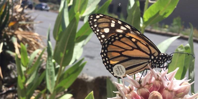 A Western monarch butterfly on native showy milkweed.