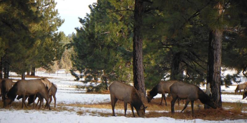 Deer and elk utilize Jennifer Horsman's property for winter range.