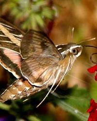 Adult lined hummingbird moth.