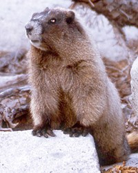 That's him, the Oregon rock chuck, aka, yellow-bellied marmot, (Marmota flaviventris) the western equivalent of the Eastern Groundhog.