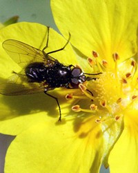 Flower fly on our local Oregon Sunshine Eriophyllum Lanatum, while it's still here.