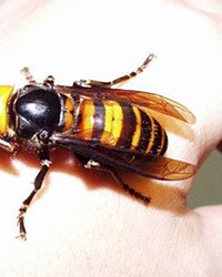 The dreaded Asian Wasp.