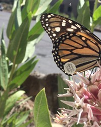 A Western monarch butterfly on native showy milkweed.