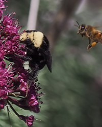 Springtime is crunch time for hungry bumblebees (left) and honeybees.