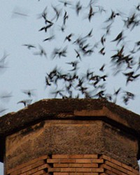A flock of Vaux's Swifts swirling into a 1920s elementary school chimney to roost for the night.
