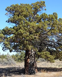 This is an old-growth western Juniper in the Redmond-Bend Juniper State Scenic Corridor along U.S. Route 97 between Bend and Redmond in Central Oregon.