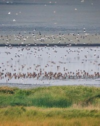 Top, Migrating water birds of Lake Abert—but only about 1/100ths of them. Inset, Chuck Gates counts birds at Lake Abert.
