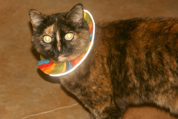 A domestic house cat wearing the BirdsBeSafe cat collar, lit up by the reflective material on its edges. - JIM ANDERSON