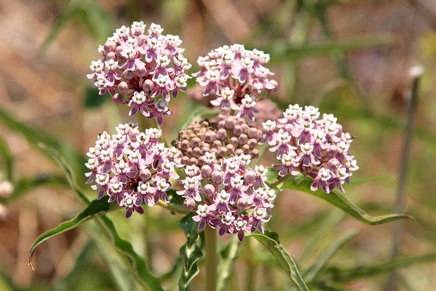The scarcity of narrowleaf milkweed, shown here, has grounded the migration of butterflies. - NATURESHUTTERBUG, FLICKR