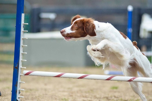 This agility dog makes a clean leap over an obstacle. - CHRIS MCLEOD
