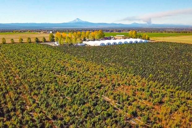 Pivotal CBD, 100 acres, Culver - GREG MORING