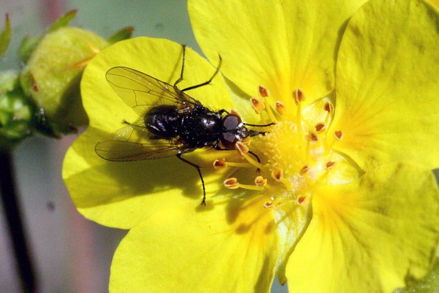Flower fly on our local Oregon Sunshine Eriophyllum Lanatum, while it's still here. - JIM ANDERSON