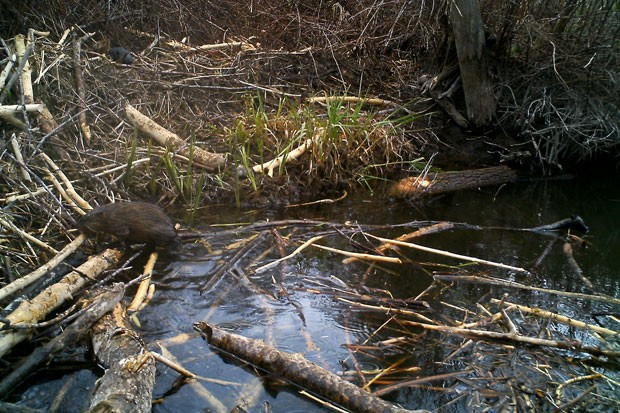 North American Beaver doing what they do best, building dams and saving water. - PAMELA ADAMS, BEAVER WORKS OREGON