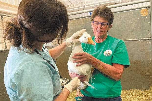 Vikki Sheerer (right), the regional coordinator of the Pet Evacuation Team, cares for a goose that escaped the megafires northwest of the Santiam Pass. The animals were brought to the Deschutes County Fairgrounds & Expo Center. - VIKKI SHEERER