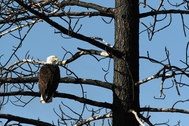 A bald eagle scouts out its next meal. - DAMIAN FAGAN