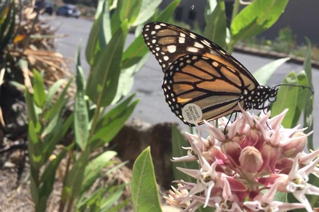 A Western monarch butterfly on native showy milkweed. - DESCHUTES LAND TRUST