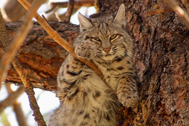 This bobcat strikes a cozy pose in a pine tree. - JIM ANDERSON