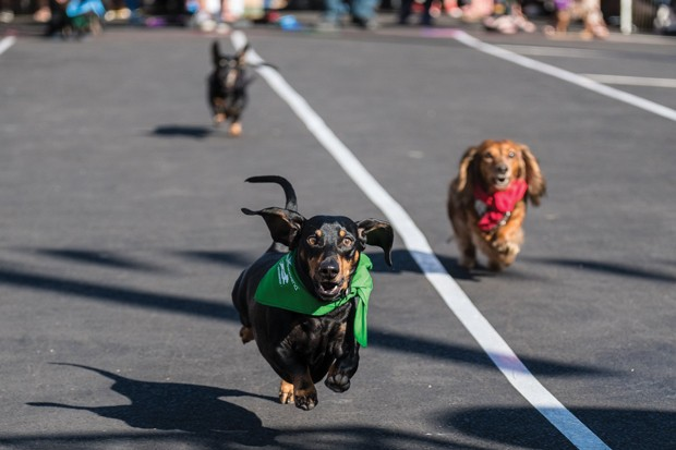 Who doesn't love the weiner dog races at Bend Oktoberfest? - MIGUELEDWARDS