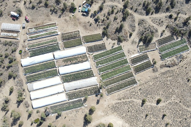 Over 49 greenhouses containing over 9,000 marijuana plants at various growth stages, over 2,800 pounds of processed marijuana and three firearms were confiscated from a cartel-operated farm in Alfalfa, according to the Deschutes County Sheriff's Office. - COURTESY DESCHUTES COUNTY SHERIFFS OFFICE