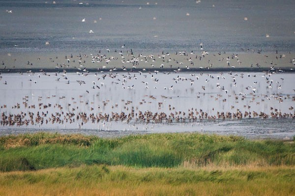 Top, Migrating water birds of Lake Abert—but only about 1/100ths of them. Inset, Chuck Gates counts birds at Lake Abert. - SUE ANDERSON