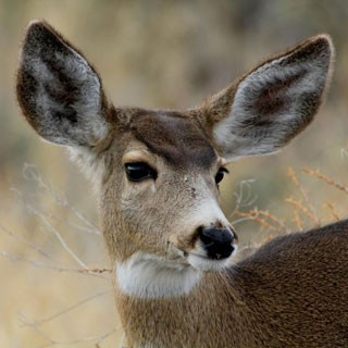 Female mule deer. - USFS