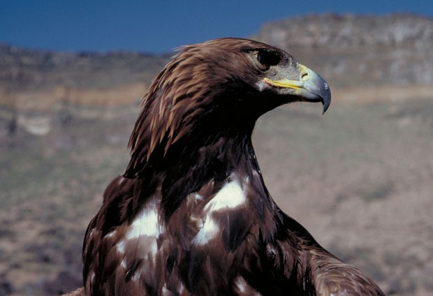 Our local Golden Eagle. Can the Endangered Species Act help them to survive? - BLM IDAHO / FLICKR