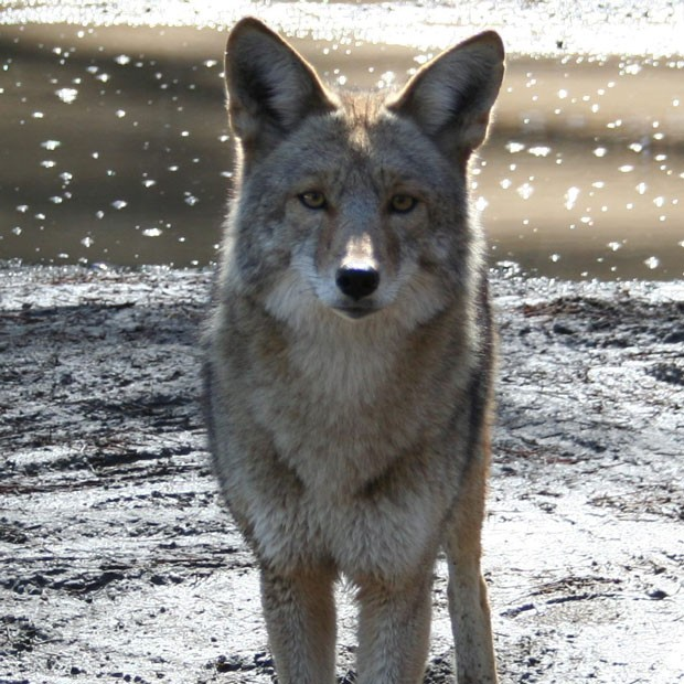 """Our ever-present, handsome and clever native coyote, Canis latrans (which translates to """"barking dog,"""" a reference to the many vocalizations they produce.) - SUBMITTED"""