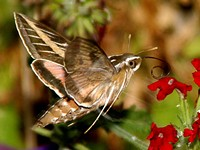 The Hummingbird Wannabe