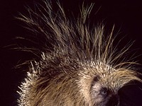 Putting Porcupines on a Pedestal