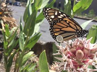 Monarch butterflies need your green thumb