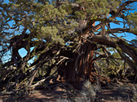 VIDEO: The Oldest Tree in the Badlands