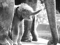 Elephant Lessons: Expert coming to Sisters to share work on the troubled animal