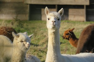 Alpaca Your Wine Event at the Vineyard