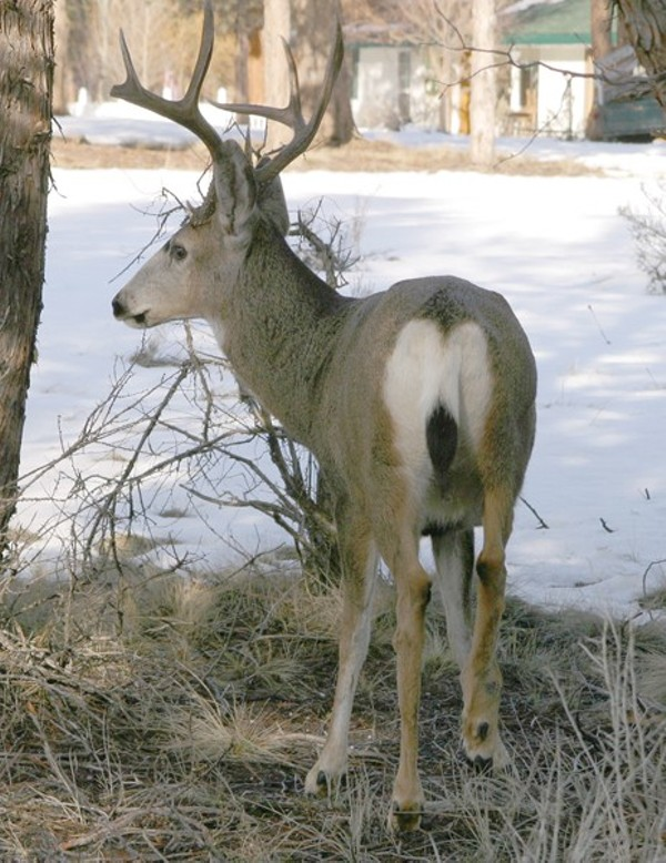 keep mule deer out of your garden natural world the