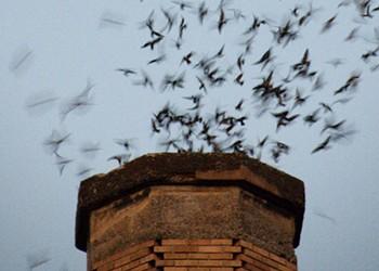 Return of the Vaux's Swifts
