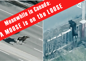 Meanwhile in Canada... A Moose is on the Loose
