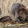 Beavers, Our Eager Aquifer Engineers