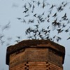 Return of the Vaux's Swifts