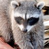If Allowed, Raccoons Will Stay