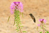 Rufous Hummingbird - Uploaded by CedarWaxwing