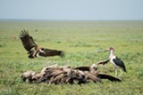 Vultures and storks on the Serengeti - Uploaded by CedarWaxwing