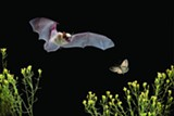 Bat - Uploaded by TheHighDesertMuseum