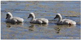 Trumpeter Swan Cygnets in Sunriver - Uploaded by Amanda A