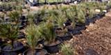 Ponderosa Pine Seedling Sale - Uploaded by Amanda A
