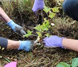 Volunteers help to plant native plants in Land Trust restoration projects. - Uploaded by Deschutes Land Trust