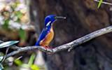 Kingfisher - Uploaded by CedarWaxwing