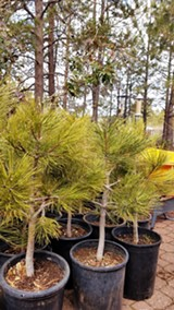 Plant a ponderosa pine tree! - Uploaded by Amanda A