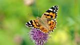 calendar.pixabay.co.butterflies.jpg