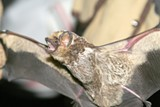 Bat being displayed with wings spread. - Uploaded by DeschutesLandTrust1
